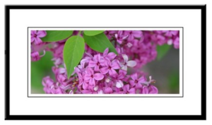 Lilac Blooms Framed Print
